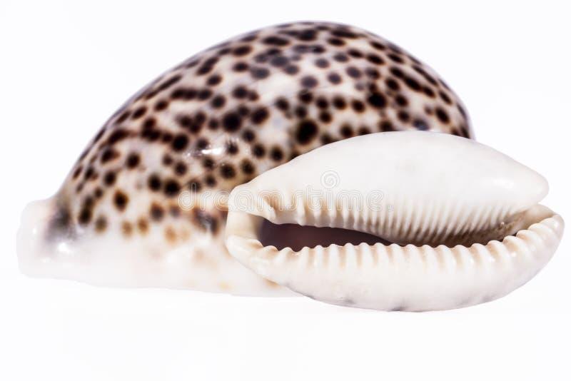 Κοχύλια θάλασσας της τίγρης cowry που απομονώνει στο άσπρο υπόβαθρο στοκ φωτογραφίες με δικαίωμα ελεύθερης χρήσης