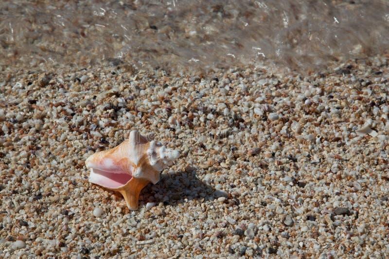 Κοχύλια στα μικροσκοπικά κοχύλια με το κύμα και μεγάλο Conch Shell στοκ φωτογραφία