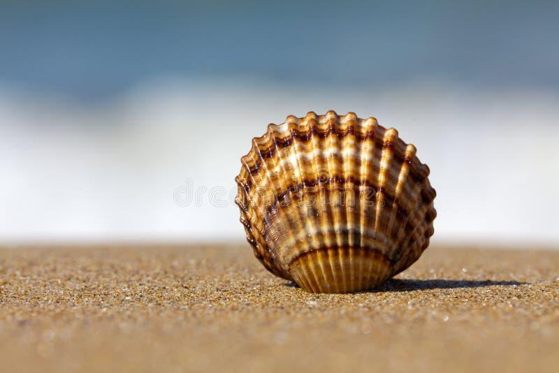 κοχύλι άμμου στοκ φωτογραφίες με δικαίωμα ελεύθερης χρήσης