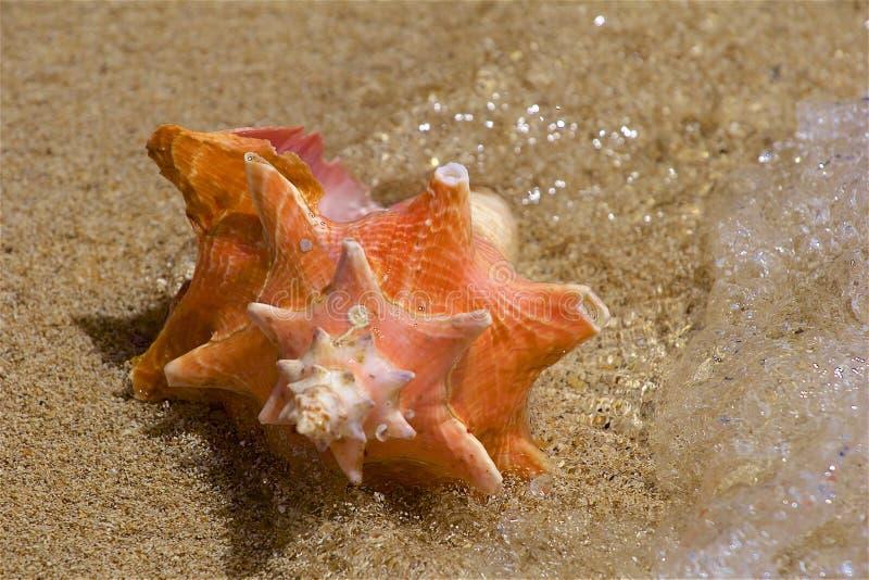 Κοχύλι θάλασσας στην ακτή στοκ φωτογραφία με δικαίωμα ελεύθερης χρήσης
