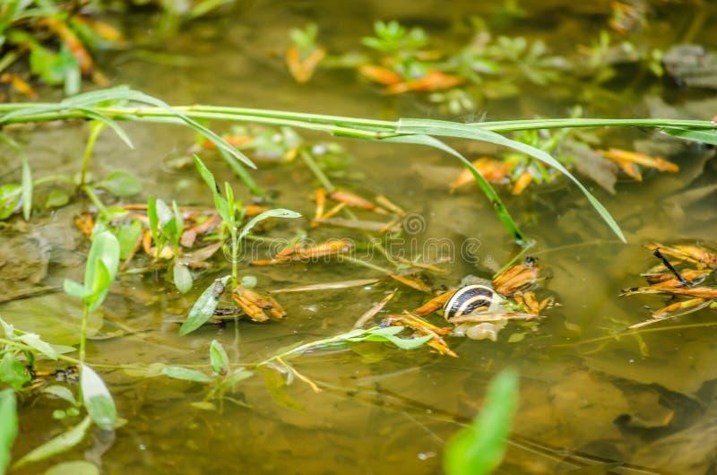 Κοχύλι σαλιγκαριών στο νερό ποταμού στοκ εικόνα