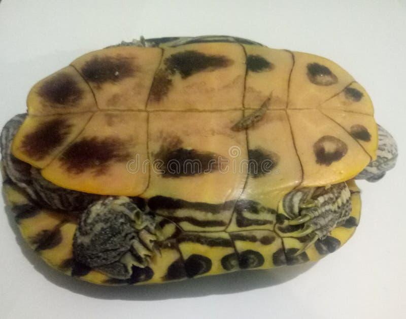 Κοχύλι Tortoise στοκ εικόνες με δικαίωμα ελεύθερης χρήσης