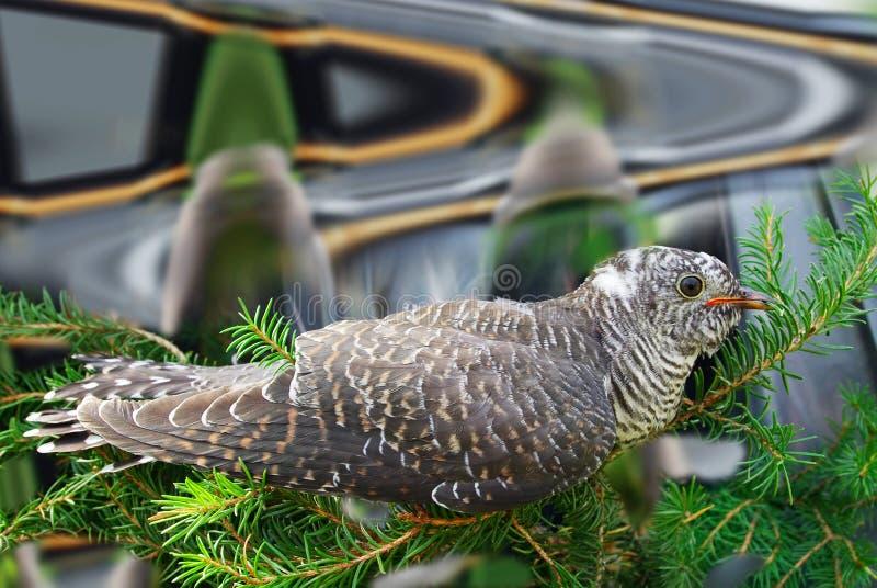 Canorus Cuculus, κοινός κούκος. στοκ φωτογραφίες με δικαίωμα ελεύθερης χρήσης