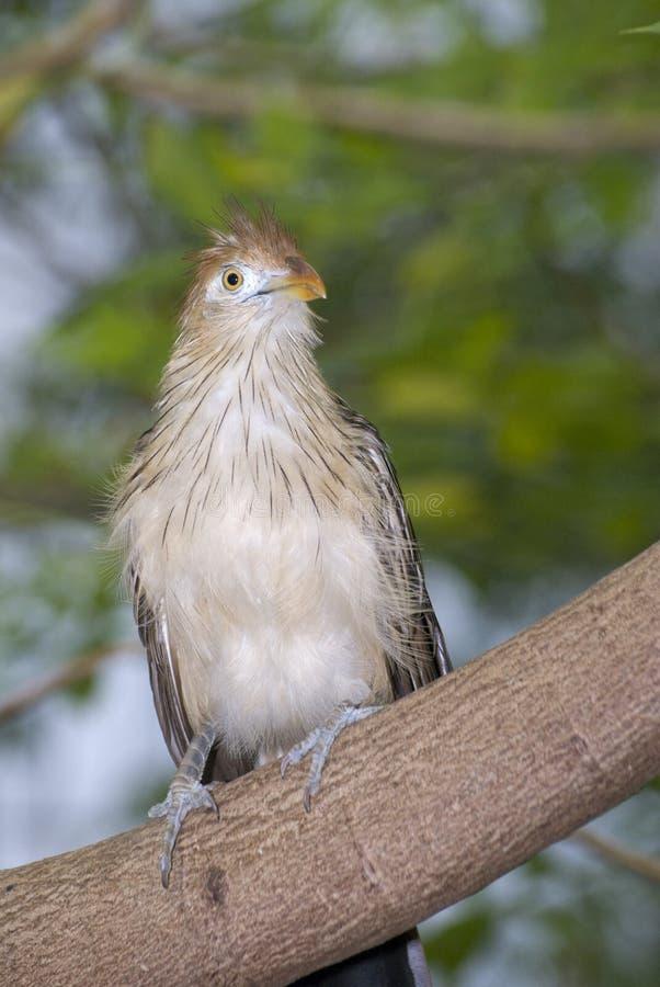 Κούκος Guira - guira Guira στοκ εικόνα
