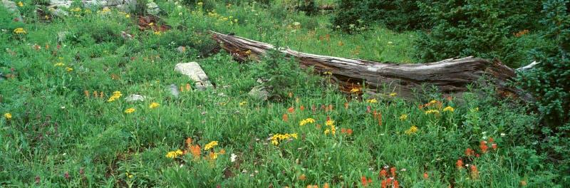 Κούτσουρο ανάμεσα στα αλπικά λουλούδια, Ouray, Κολοράντο στοκ εικόνα
