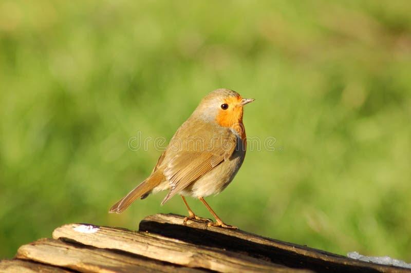 κούτσουρο Robin στοκ φωτογραφία με δικαίωμα ελεύθερης χρήσης