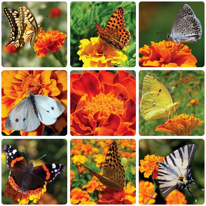 Πεταλούδες που κάθονται marigold στοκ εικόνες