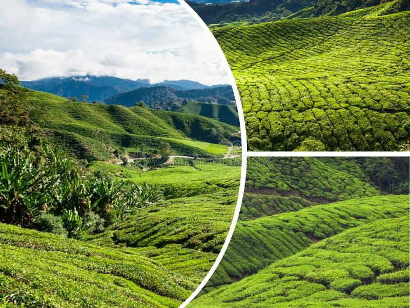 Κολάζ της Μαλαισίας, φυτεία τσαγιού στις ορεινές περιοχές του Cameron στοκ φωτογραφίες
