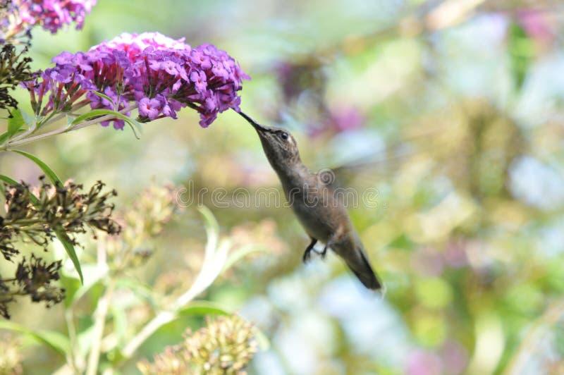 Κολίβριο Calypte Anna της Anna ` s που πετά πίνοντας το νέκταρ από την πεταλούδα Μπους στοκ εικόνες με δικαίωμα ελεύθερης χρήσης