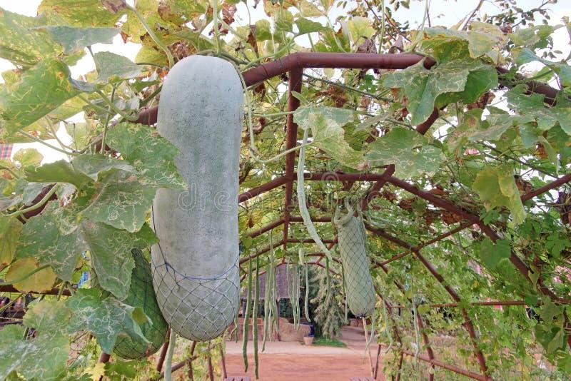Κολοκύθα ή χειμερινό πεπόνι στο δέντρο στοκ εικόνες
