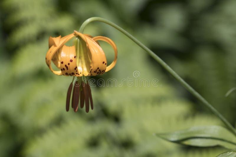 Κολομβιανό columbianum Lillia κρίνων στο ίχνος βουνών σιδήρου στοκ εικόνα με δικαίωμα ελεύθερης χρήσης
