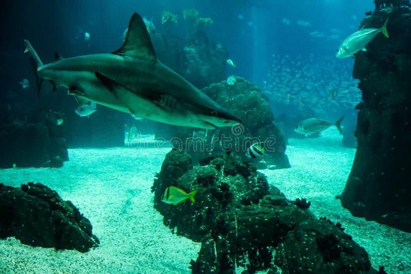 Κολυμπώντας καρχαρίας στο ενυδρείο στοκ εικόνες