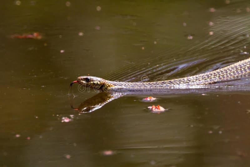 Κολυμπώντας Garter φίδι στοκ φωτογραφία