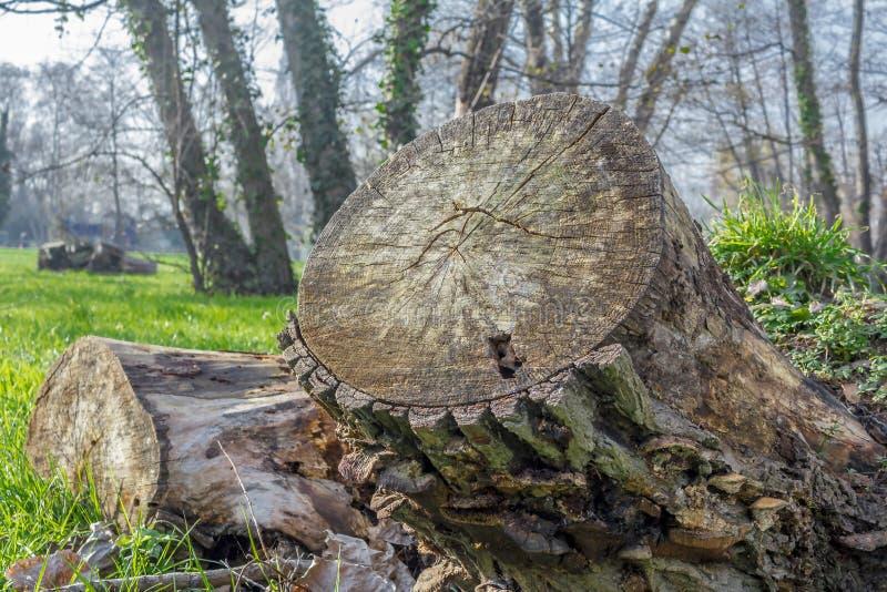 Κολόβωμα δέντρων, κορμός στο δάσος στοκ φωτογραφία