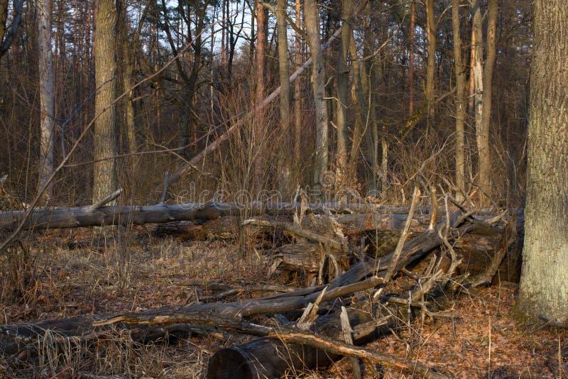 Κολόβωμα πεύκων, αποτέλεσμα της κατάρριψης δέντρων Συνολική αποδάσωση, δάσος περικοπών στοκ εικόνα