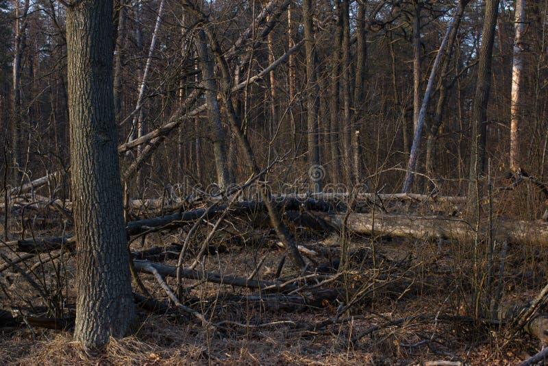 Κολόβωμα πεύκων, αποτέλεσμα της κατάρριψης δέντρων Συνολική αποδάσωση, δάσος περικοπών στοκ εικόνες με δικαίωμα ελεύθερης χρήσης