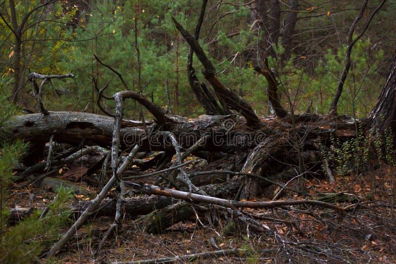 Κολόβωμα πεύκων, αποτέλεσμα της κατάρριψης δέντρων Συνολική αποδάσωση, δάσος περικοπών στοκ φωτογραφία με δικαίωμα ελεύθερης χρήσης