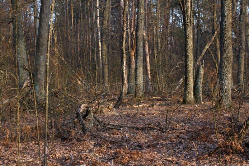 Κολόβωμα πεύκων, αποτέλεσμα της κατάρριψης δέντρων Συνολική αποδάσωση, δάσος περικοπών στοκ εικόνες