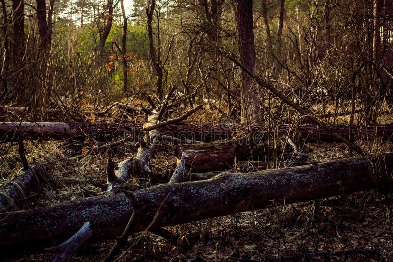 Κολόβωμα πεύκων, αποτέλεσμα της κατάρριψης δέντρων Συνολική αποδάσωση, δάσος περικοπών στοκ φωτογραφίες