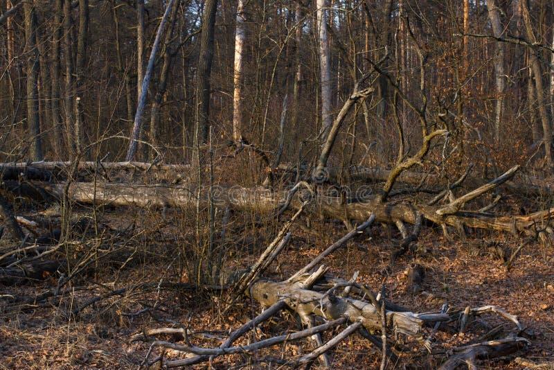 Κολόβωμα πεύκων, αποτέλεσμα της κατάρριψης δέντρων Συνολική αποδάσωση, δάσος περικοπών στοκ φωτογραφίες με δικαίωμα ελεύθερης χρήσης