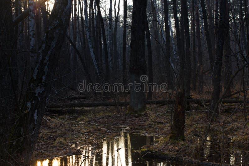 Κολόβωμα πεύκων, αποτέλεσμα της κατάρριψης δέντρων Συνολική αποδάσωση, δάσος περικοπών στοκ φωτογραφία