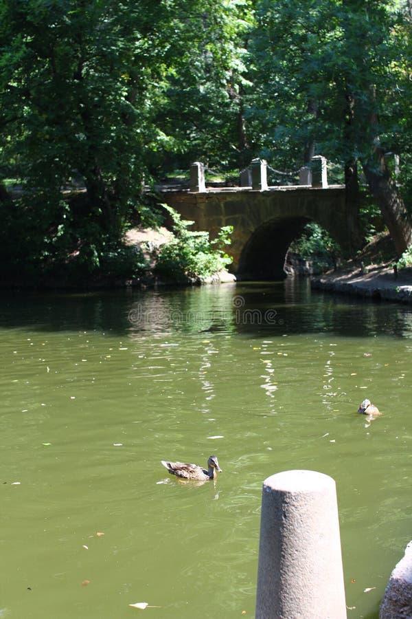 Κολύμβηση ενός μαύρου κύκνου στο πάρκο Sofiyivsky Δενδρολογικός κήπος βοτανικών κήπων σε Uman, Cherkasy Oblast, Ουκρανία στοκ φωτογραφία