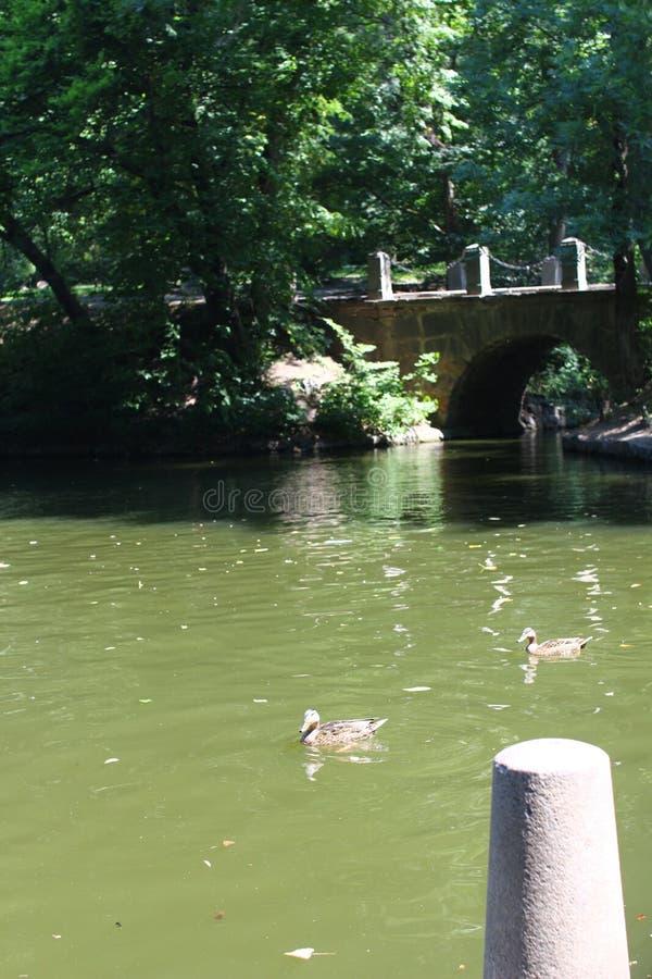 Κολύμβηση ενός μαύρου κύκνου στο πάρκο Sofiyivsky Δενδρολογικός κήπος βοτανικών κήπων σε Uman, Cherkasy Oblast, Ουκρανία στοκ φωτογραφίες