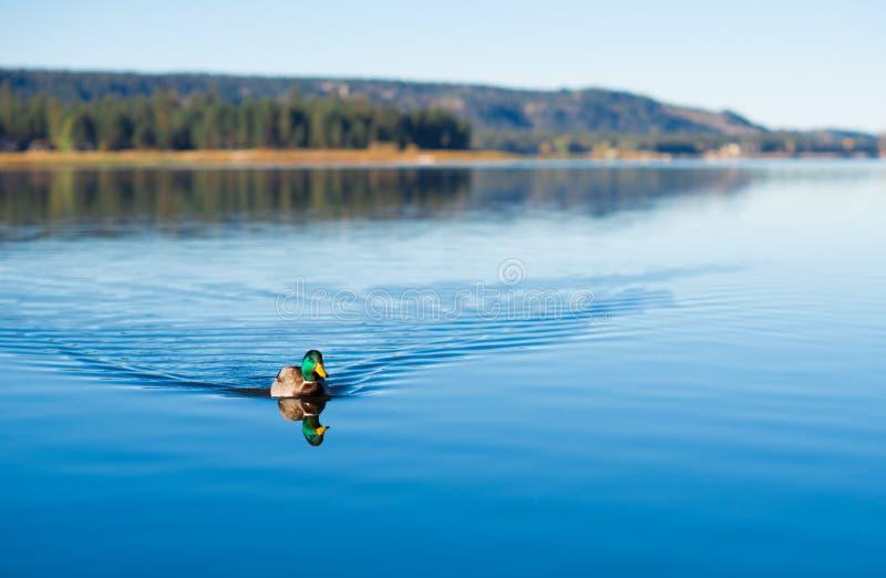 Download Κολύμβηση παπιών στοκ εικόνα. εικόνα από νωρίς, μεταξωτός - 62717811