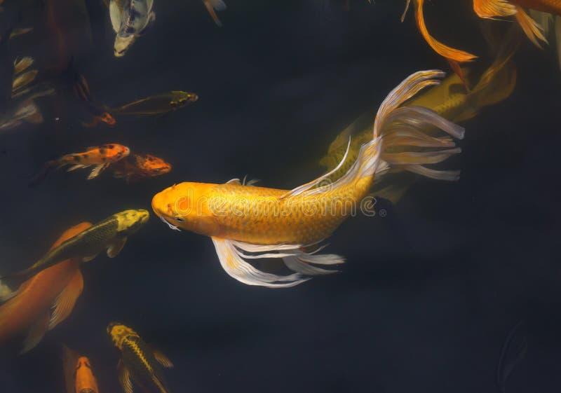 Κολύμβηση ψαριών Koi στοκ εικόνες