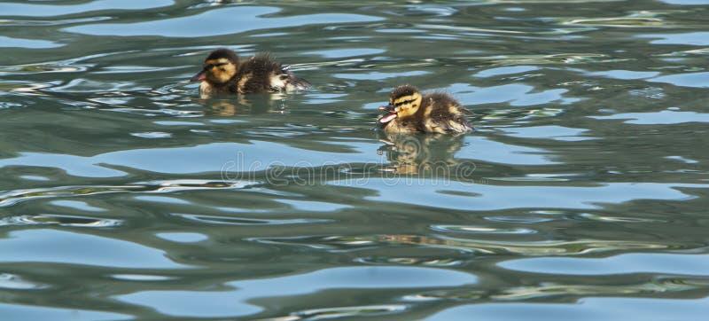 Κολύμβηση Quacking παπιών μωρών στοκ φωτογραφία με δικαίωμα ελεύθερης χρήσης
