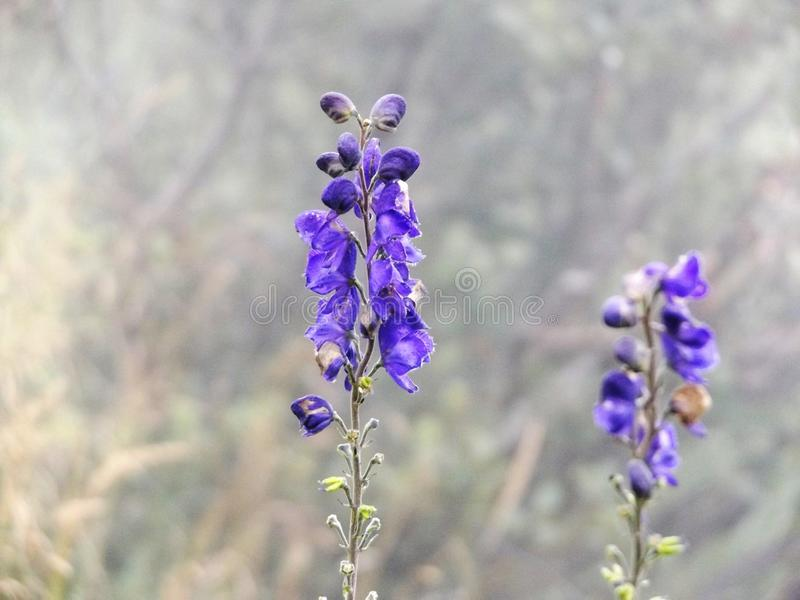 Κράνος διαβόλων ` s, Monkshood, napellus Aconitum στοκ εικόνες με δικαίωμα ελεύθερης χρήσης