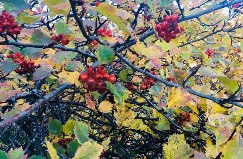 Κράταιγος το φθινόπωρο στοκ φωτογραφία με δικαίωμα ελεύθερης χρήσης