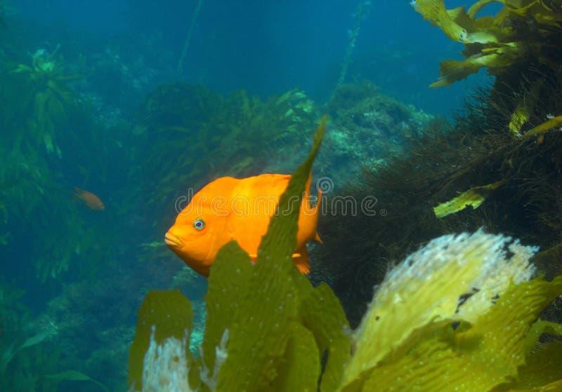 κράτος ψαριών Καλιφόρνιας στοκ εικόνες