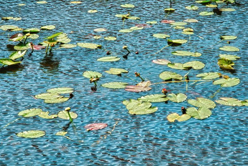 Κρίνοι και λίμνη νερού στοκ φωτογραφίες με δικαίωμα ελεύθερης χρήσης