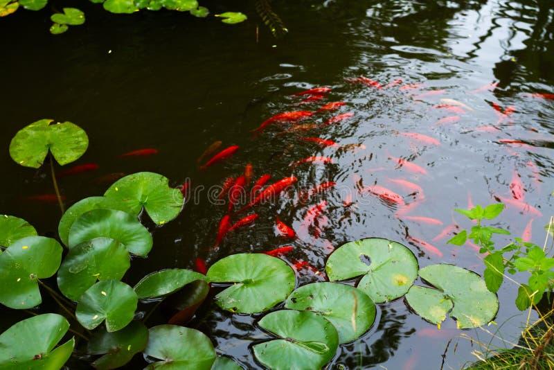 Κρίνοι νερού και ψάρια koi στοκ φωτογραφίες με δικαίωμα ελεύθερης χρήσης