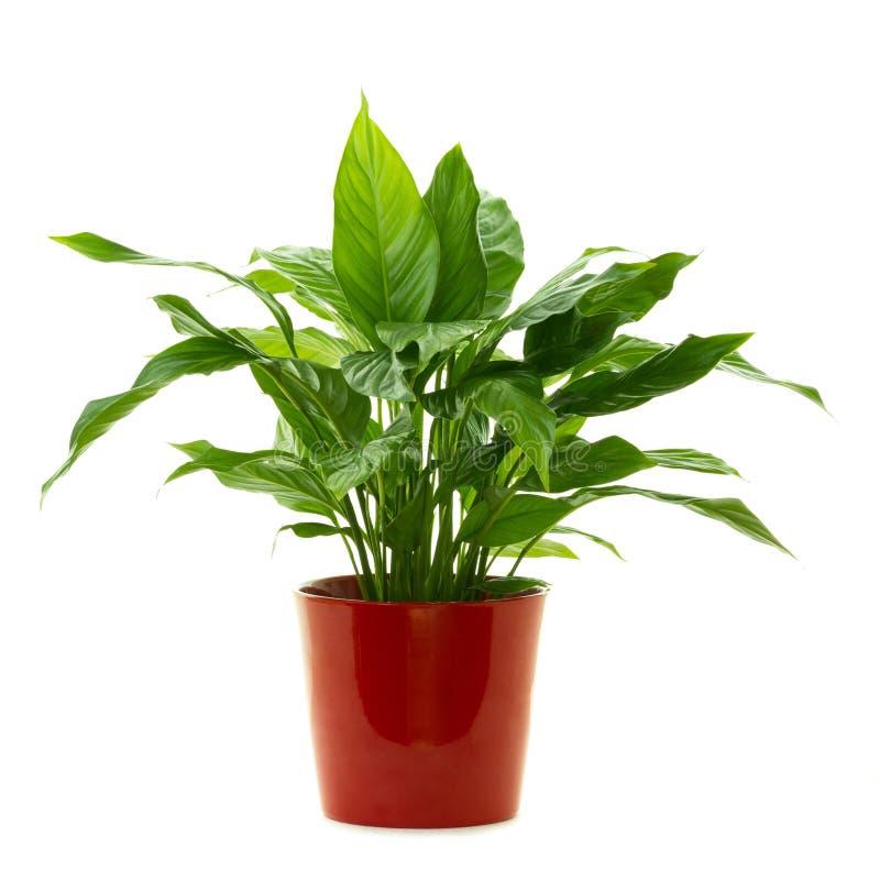 Κρίνος ειρήνης πράσινων εγκαταστάσεων - Spathiphyllum Lanceifolium που απομονώνεται στο άσπρο υπόβαθρο στοκ φωτογραφία