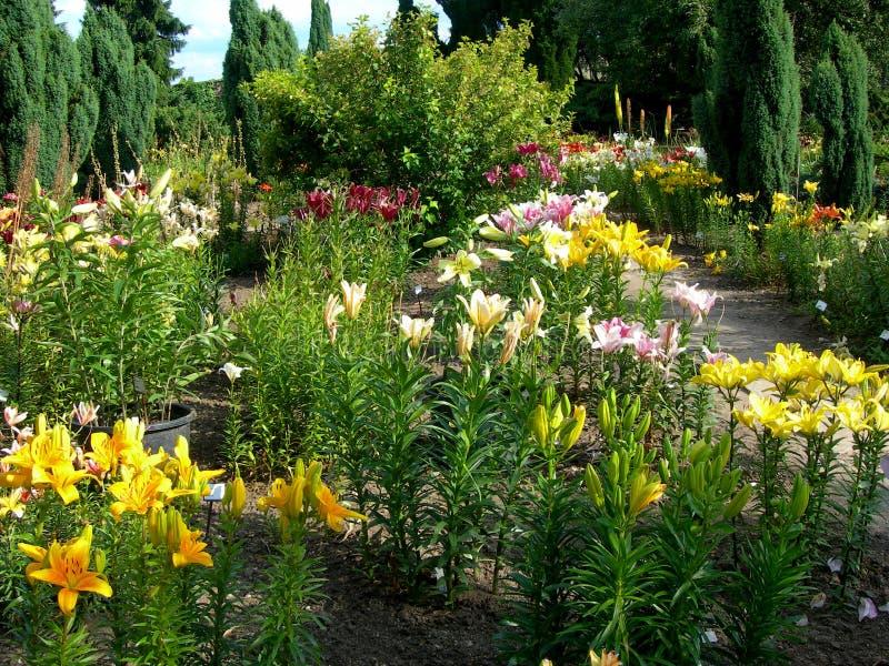 κρίνος κήπων στοκ εικόνα με δικαίωμα ελεύθερης χρήσης