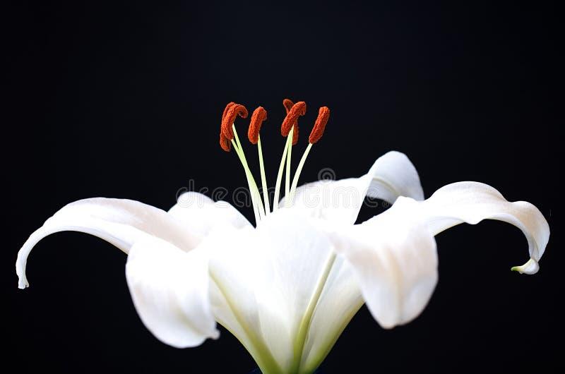 κρίνος λουλουδιών στοκ φωτογραφία