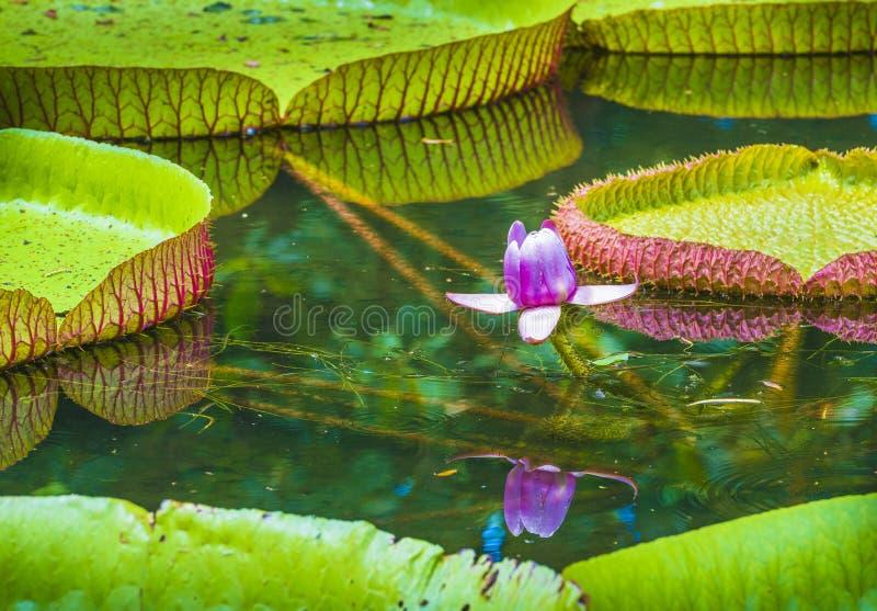Κρίνος νερού, εγκαταστάσεις λουλουδιών λωτού amazonica Βικτώριας Βοτανικός κήπος Pamplemousses, Μαυρίκιος στοκ φωτογραφία