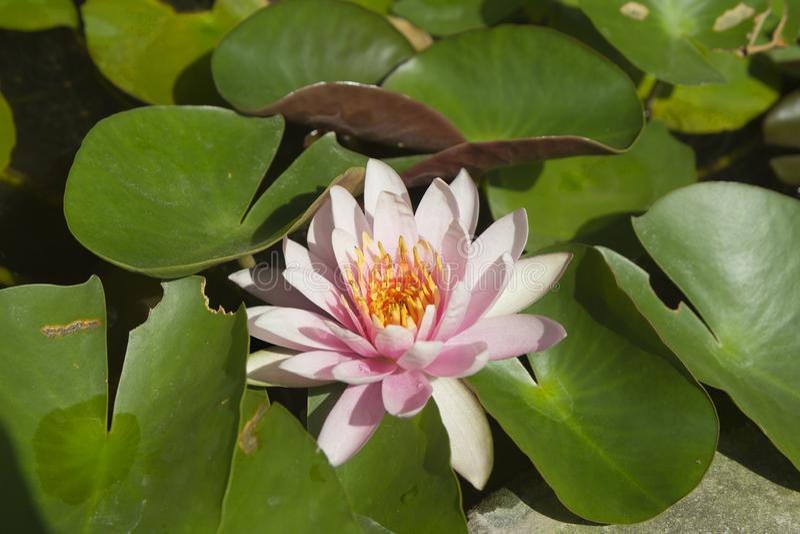 κρίνος νερού λουλουδιών λωτού στοκ εικόνες