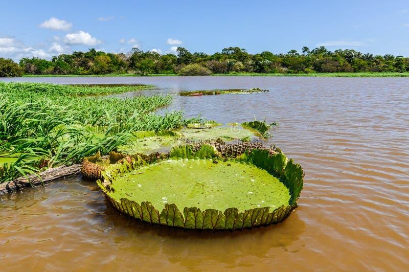 Κρίνος νερού στο τροπικό δάσος του Αμαζονίου, Βραζιλία στοκ φωτογραφία με δικαίωμα ελεύθερης χρήσης