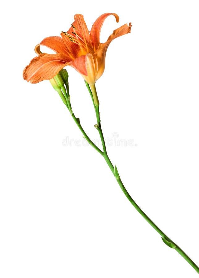 Κρίνος λουλουδιών που απομονώνεται στο άσπρο υπόβαθρο στοκ φωτογραφίες με δικαίωμα ελεύθερης χρήσης