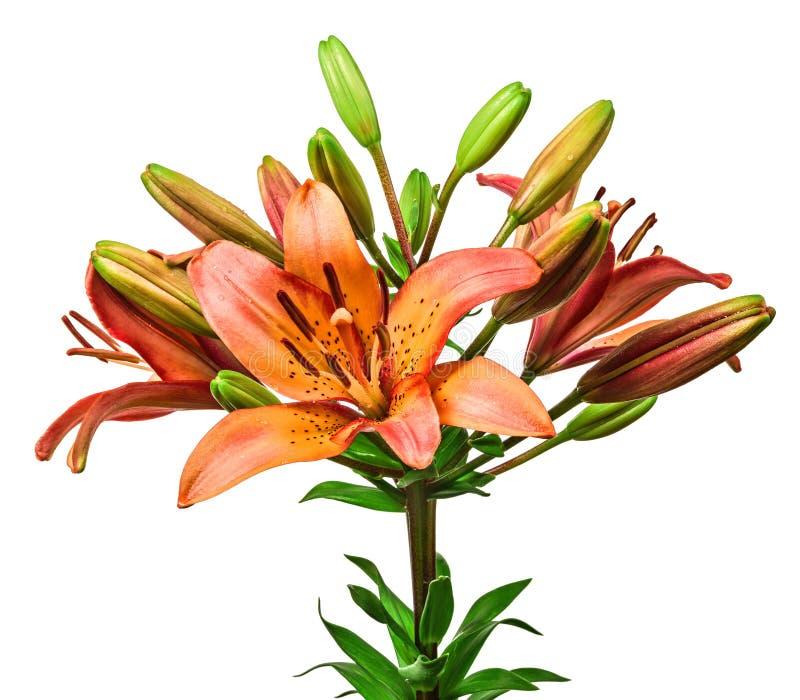 Κρίνος λουλουδιών που απομονώνεται στο λευκό στοκ φωτογραφία