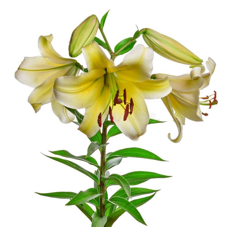 Κρίνος λουλουδιών που απομονώνεται στο λευκό στοκ εικόνες με δικαίωμα ελεύθερης χρήσης