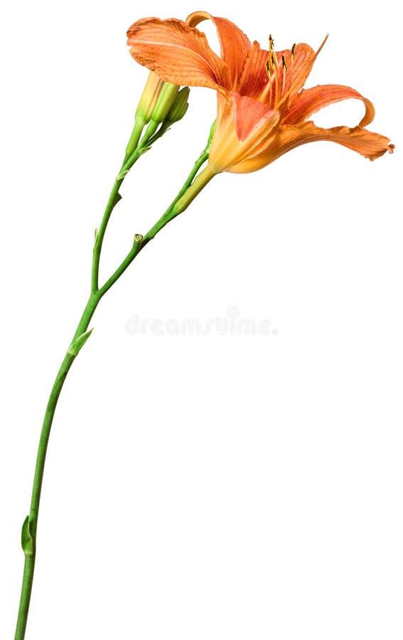 Κρίνος λουλουδιών που απομονώνεται στο λευκό στοκ φωτογραφίες
