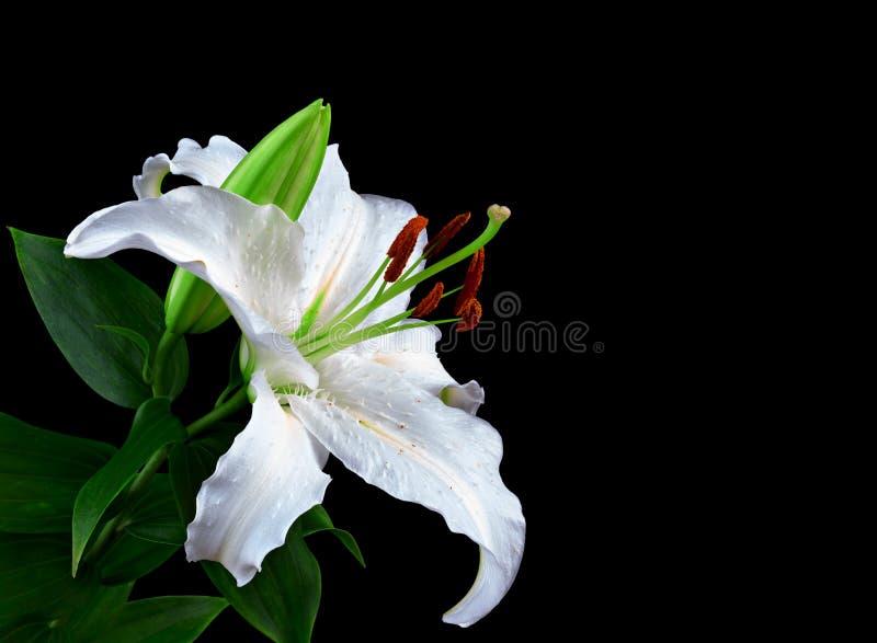 Κρίνος λουλουδιών που απομονώνεται στο μαύρο υπόβαθρο στοκ φωτογραφία με δικαίωμα ελεύθερης χρήσης