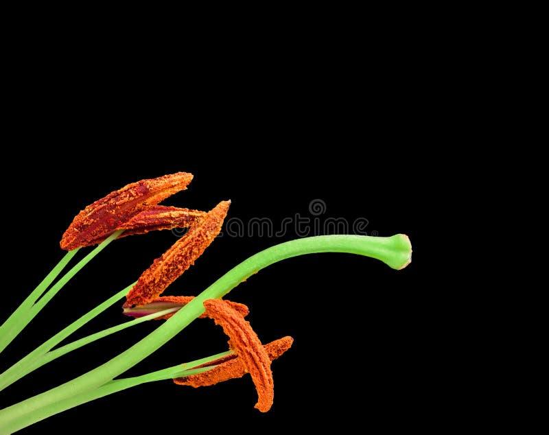 Κρίνος λουλουδιών που απομονώνεται στο μαύρο υπόβαθρο στοκ φωτογραφίες