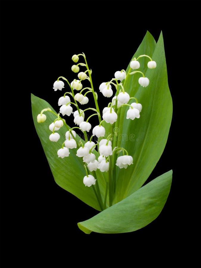 Κρίνος της κοιλάδας - majalis convallaria στοκ φωτογραφία με δικαίωμα ελεύθερης χρήσης