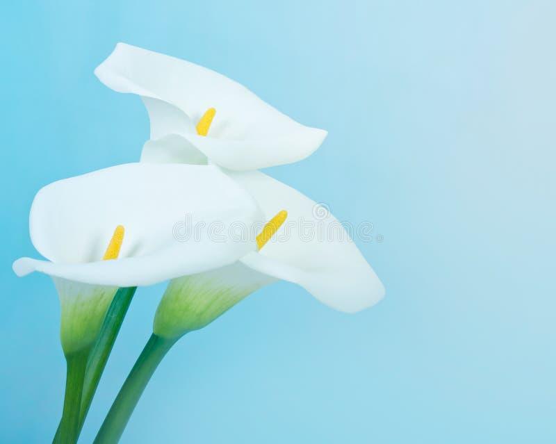 Κρίνος της Calla στοκ εικόνες