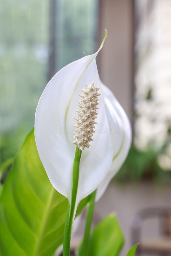 Κρίνος Spathiphyllum ειρήνης στοκ εικόνες